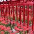 Photos: 赤鳥居と、ヒガンバナ(彼岸花) ヒガンバナ科