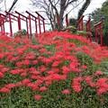 Photos: 赤鳥居とヒガンバナ(彼岸花) ヒガンバナ科