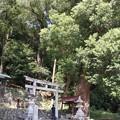 Photos: 渡ヶ島諏訪神社の楠の木クスノキ(樟、楠) クスノキ科