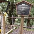 Photos: 春埜山大光寺(はるのさんだいこうじ)の春埜杉(はるのすぎ)スギ(杉) ヒノキ科