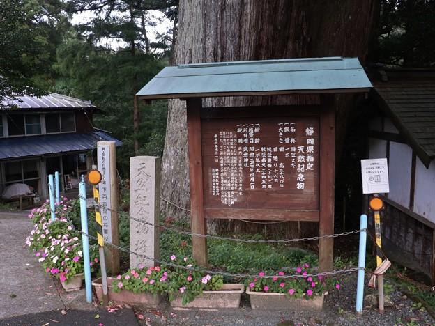 武速神社の将軍スギ(たけはやじんじゃのしょうぐんスギ)スギ(杉) ヒノキ科