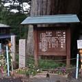 Photos: 武速神社の将軍スギ(たけはやじんじゃのしょうぐんスギ)スギ(杉) ヒノキ科