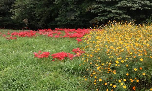 キバナコスモス(黄花秋桜) キク科とヒガンバナ(彼岸花) ヒガンバナ科