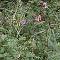 3頭のアサギマダラ(浅葱斑) タテハチョウ科