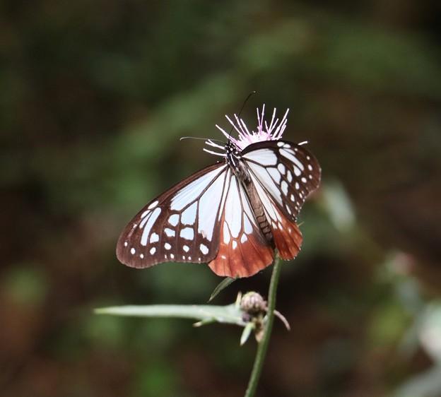 アサギマダラ(浅葱斑) タテハチョウ科