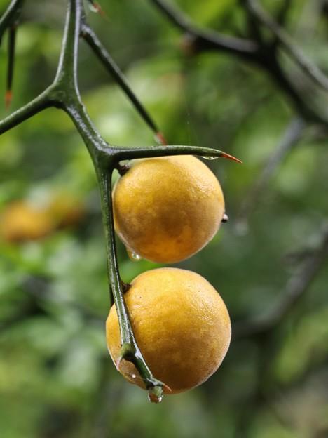 万葉集:カラタチ(枳殻、枸橘) ミカン科