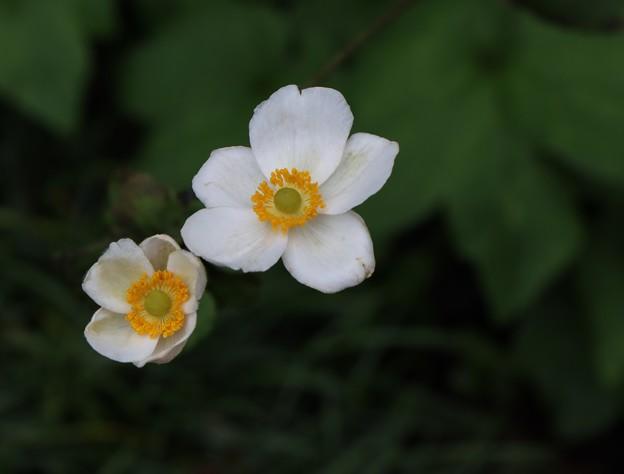 Photos: 長楽寺の庭に咲いた。シュウメイギク(秋明菊)  キンポウゲ科
