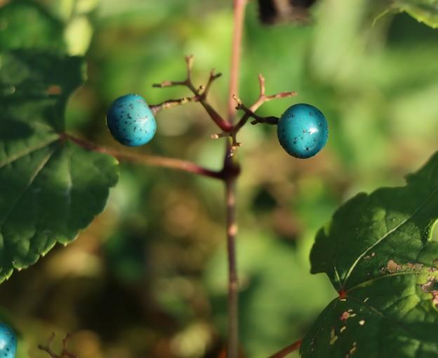 ノブドウ(野葡萄) ブドウ科