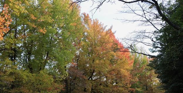 モミジバフウ(紅葉葉楓) フウ科の紅葉