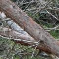 Photos: オシドリ(鴛鴦)  鳥綱カモ目カモ科