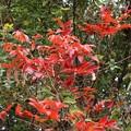 Photos: ヤマハゼ(山黄櫨) ウルシ科の紅葉