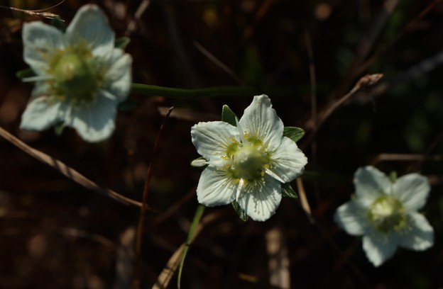 ウメバチソウ(梅鉢草) ニシキギ科