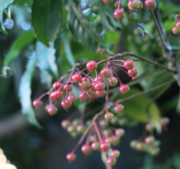 ヤブタチバナ(藪橘) ヤブコウジ科 別名:まんりょう(万両)