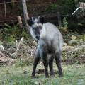 Photos: プレイバック~?ニホンカモシカ(日本氈鹿、日本羚羊) ウシ科