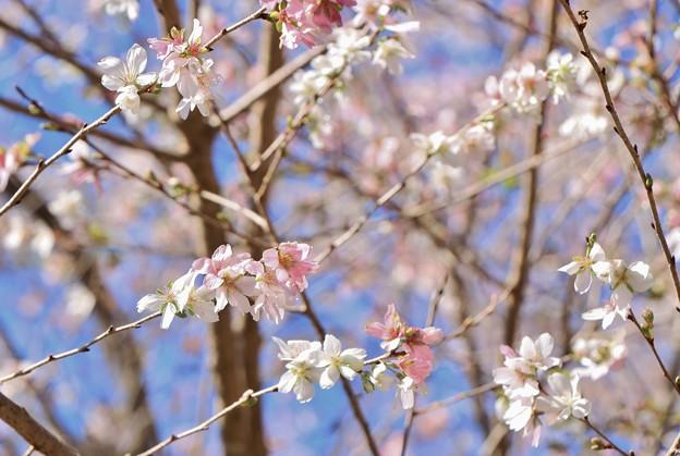 四季桜マメザクラ×エドヒガン雑種