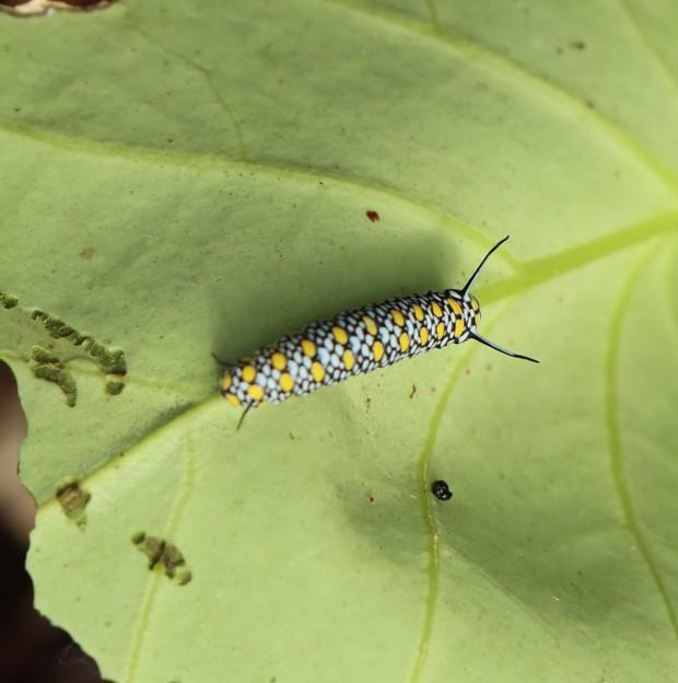 これは見た中では大きいほうでした。アサギマダラ(浅葱斑) タテハチョウ科幼虫