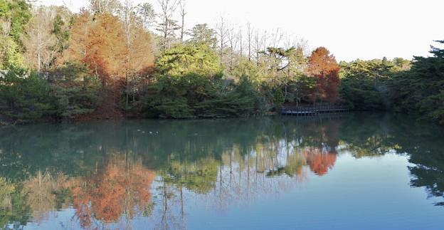Photos: 森林公園西ノ谷奥池ラクウショウ(落羽松)和名:ヌマスギ(沼杉)の紅葉