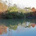 森林公園西ノ谷奥池ラクウショウ(落羽松)和名:ヌマスギ(沼杉)の紅葉