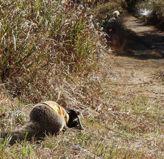 ハクビシン(白鼻芯) ジャコウネコ科富幕山散歩と右上テイカカズラ(定家葛)キョウチクトウ科の「種子、綿毛」空散歩