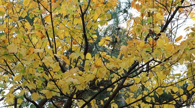 黄葉のウリハダカエデ(瓜膚楓)  カエデ科
