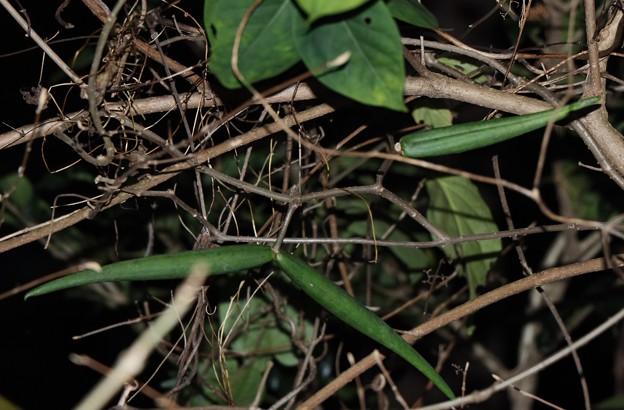 シタキソウ(舌切草) キョウチクトウ科種子