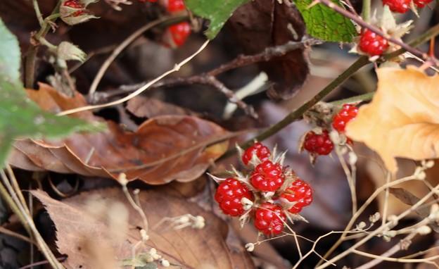 フユイチゴ(冬苺) バラ科