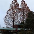 Photos: 森林公園森の家来年は伐採予定のメタセコイア  :ヒノキ科 別名:アケボノスギ(曙杉)