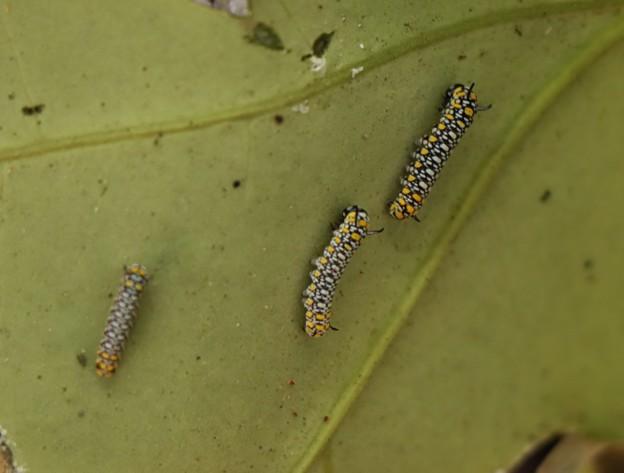 アサギマダラ(浅葱斑)  チョウ目タテハチョウ科アサギの幼虫三頭
