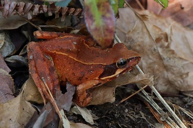 ニホンアカガエル(日本赤蛙)  アカガエル科