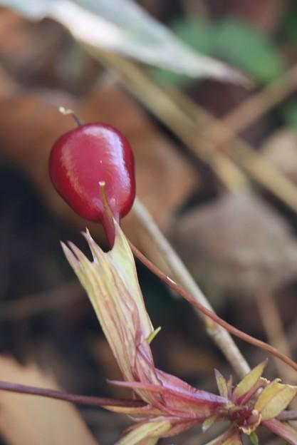 ツルリンドウ(蔓竜胆)  リンドウ科