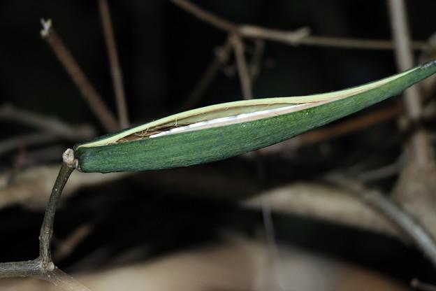 割れ始めたシタキソウ(舌切草) キョウチクトウ科種子