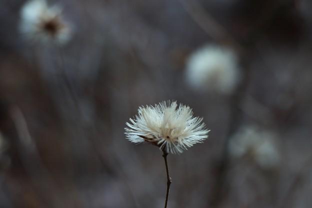 コウヤボウキ(高野箒) キク科 古名:たまばはき(玉箒)種子