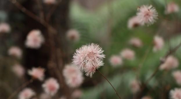 コウヤボウキ(高野箒) キク科種子