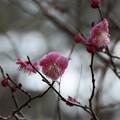 Photos: ヤエカンコウバイ(八重寒紅梅) バラ科
