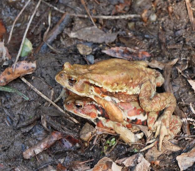 アズマヒキガエル(東蟇蛙) ヒキガエル科