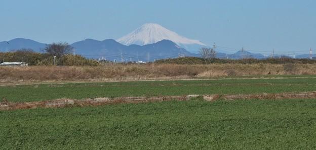麦畑と富士山