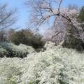Photos: 雪柳と桜
