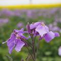Photos: 紫花菜