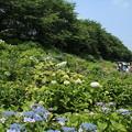 紫陽花_権現堂 D4361