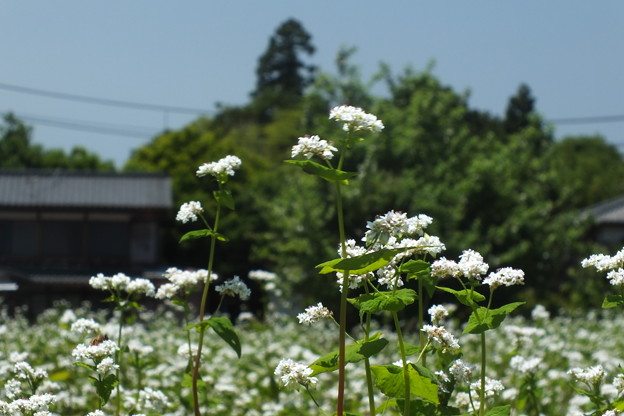 ソバの花 F0177