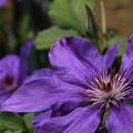 クレマチス_植物園 D4148