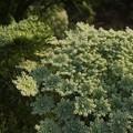 ニンジンの花 F0122