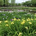 アヤメ祭り_公園 D4234