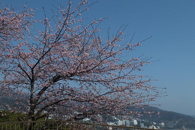 桜_熱海 F1837