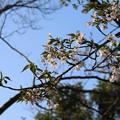 写真: 桜_公園 D6851