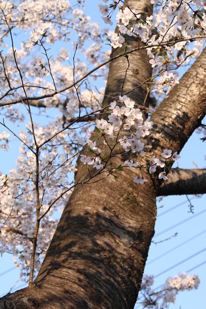 写真: 桜_公園 D6856