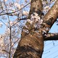 桜_公園 D6856
