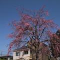 枝垂れ桜_遊歩道 D6882