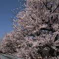桜_遊歩道 D6895
