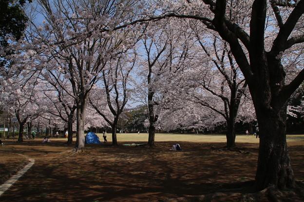 桜_公園 D6896